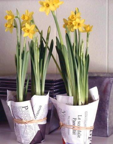Daffodils_2